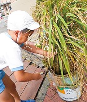 鎌を使い稲を刈り取る園児