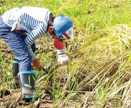 区内唯一の水田で稲作