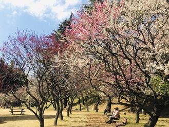 120本の梅が鑑賞できる保土ケ谷公園の梅園=2月25日撮影