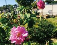 「友好のバラ」咲く
