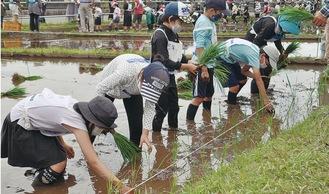 泥に悪戦苦闘しながら苗を植え付ける子どもたち