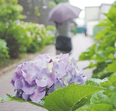 梅雨の風物詩、今年も