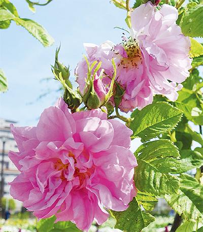 「友好のバラ」が咲く