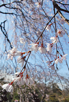 風に揺れる園内の枝垂れ桜(3/26撮影)