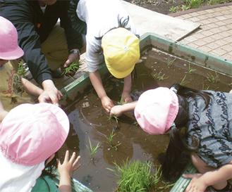 苗を植えつける園児たち