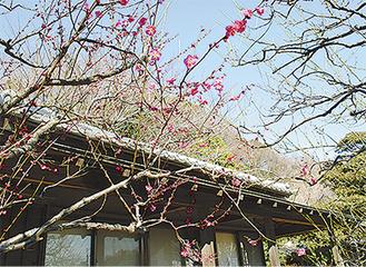 横溝屋敷の梅=1月28日撮影