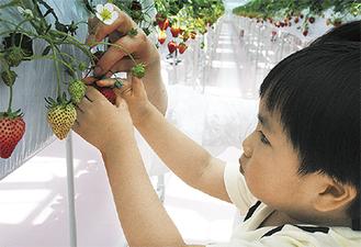 赤々と実ったイチゴを摘む利用者