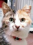 去勢手術を受け、印として耳カットした猫