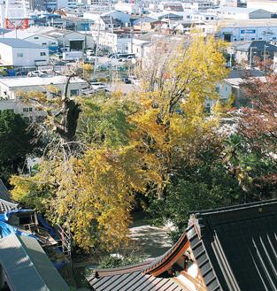 色付く大イチョウ(11月29日撮影)