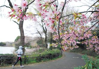 ソメイヨシノの満開を待つ三ツ池公園(3月23日撮影※早咲きの桜は見ごろ過ぎの可能性あり)