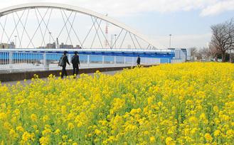 春先に満開になる菜の花(写真は過去)