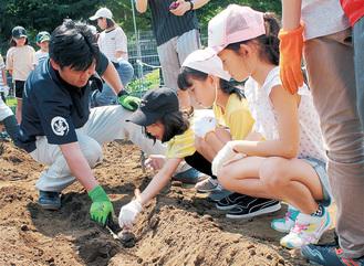 こんにゃく芋を植え付ける児童ら