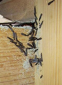 この羽アリを見たら要注意