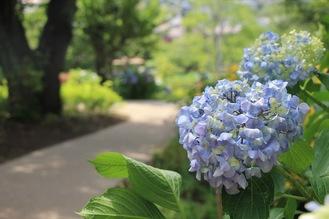 園内を彩るセイヨウアジサイ