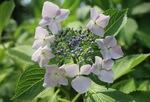 粒のような花が咲くガクアジサイ