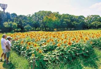 太陽に向かって咲くひまわり(8月4日撮影)