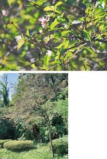 開花したオカメ(上)と木の全体図(9月4日撮影)