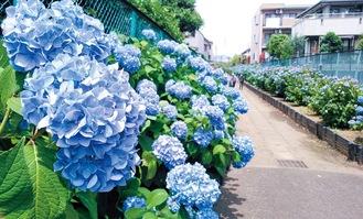 道の両側に花を楽しめる駒岡のアジサイ小路=5月26日撮影