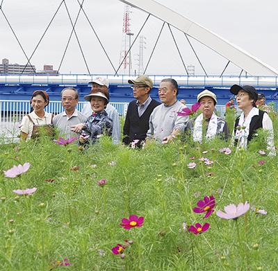 鶴見川でコスモス鑑賞会