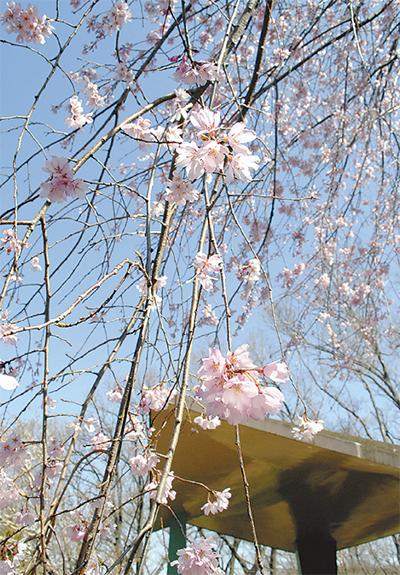 三ツ池公園の桜見ごろに