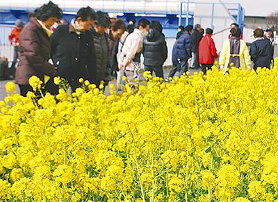 市場地区菜の花満開