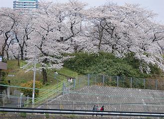 幸ヶ谷公園の桜(一昨年)
