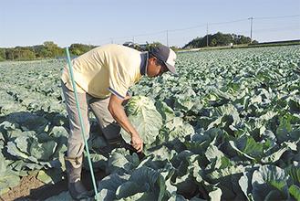 キャベツを収穫する有田さん
