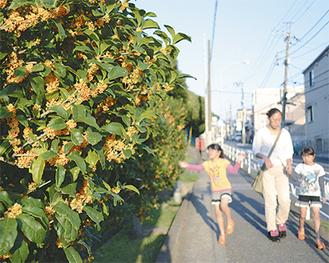 鮮やかなオレンジがまぶしいキンモクセイ(12日撮影)