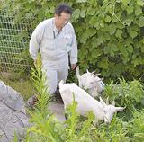 伸びきった雑草を黙々と食べるヤギ