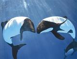 仙台うみの杜水族館で泳ぐイロワケイルカ=同館提供