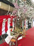桜の木の横で琴を奏でる原さん