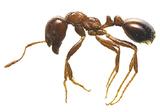 お尻の部分に毒針を持つヒアリ〈環境省提供〉