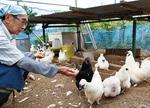 烏骨鶏を世話する出川さん