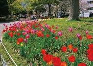 チューリップが花壇彩る