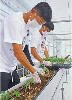 トマトの苗を植える河辺選手(写真奥)とアオチョン選手