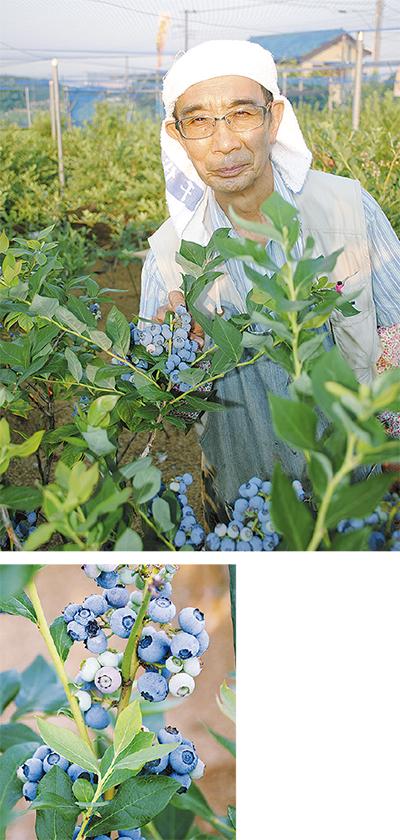 ブルーベリーが収穫時期に