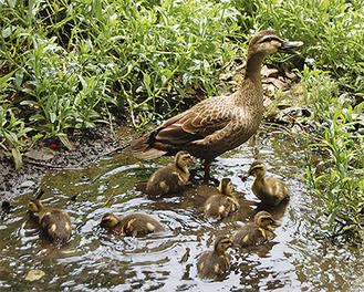 親鳥の後を追って泳ぐ雛たち