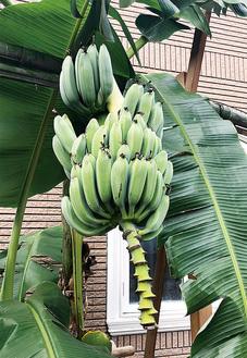 バナナは上から実っていく。下部はある程度で切り落としたという=8月30日小泉さん宅で撮影