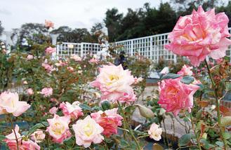 徐々に開花する秋のバラ=昨年