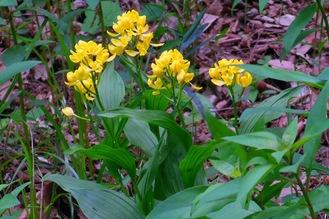 ユリ園南斜面に咲くキンラン=東高根森林公園提供