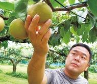 「宮前梨」が旬、8月から直売