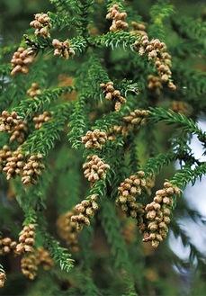 花粉を飛ばす雄花(県提供)