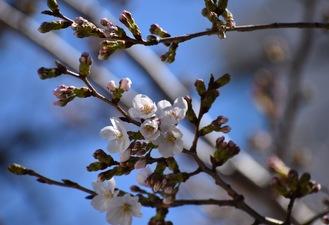同駅並木道に咲く桜