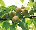 有機栽培された梨(5月)