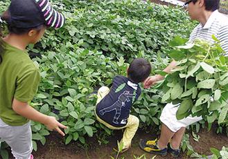 枝豆を地面から引き抜く