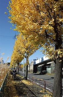 12月の寒風が、イチョウの葉とススキの穂を揺らす