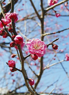 春の訪れを告げる梅の花。無数のつぼみが開花を待つ