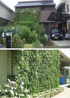 緑のカーテンコンテスト、児玉さんの作品(上)と橘保育園の作品