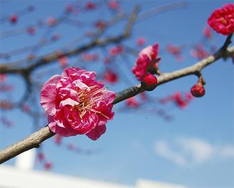 公園に咲く紅梅の花(2月7日午前11時50分ごろ撮影)