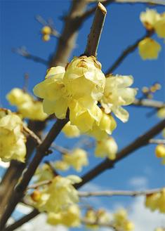 春風に揺れる梅の花(2月20日午前11時ごろ撮影)